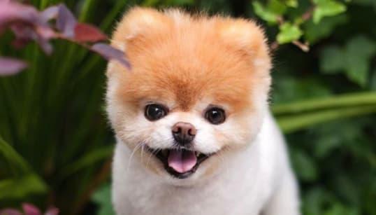 「世界一かわいい犬」ポメラニアンの『ブゥ』天国へ