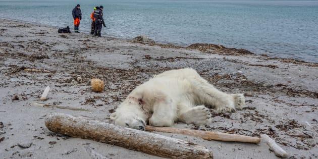 Un ours polaire abattu après avoir attaqué un homme