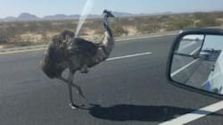 Emus Are Walking Into Bars And Playing In Traffic In The U.S.