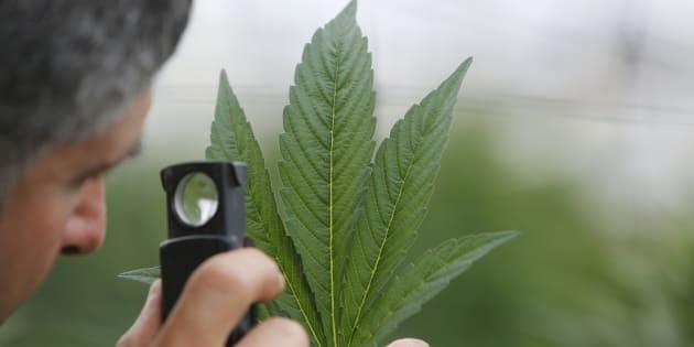 Dépénaliser ou légaliser le cannabis: le match des avantages et des risques
