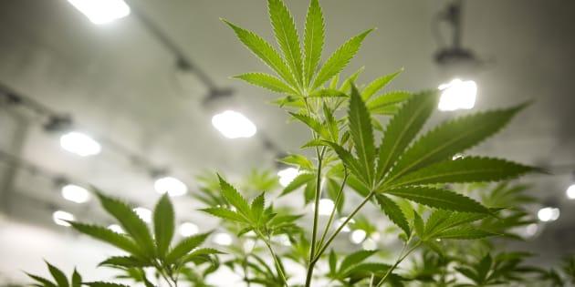 Le cannabis est maintenant légal en Californie