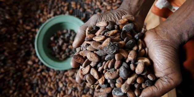 Du cacao illégal fourni aux grands chocolatiers, dont Lindt et Nestlé