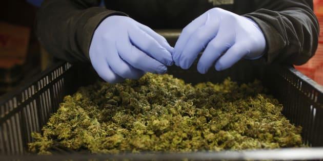 Comment la régulation du cannabis permettrait des politiques en matière de drogues plus efficaces. REUTERS/Nir Elias