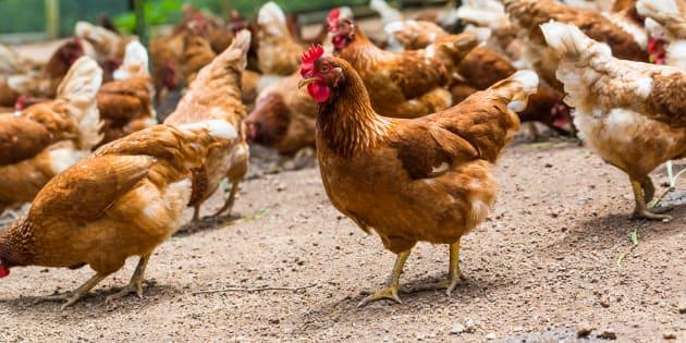 Auchan va arrêter de vendre des œufs de poules élevées en batterie (d'ici 2025)