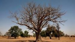 Les plus vieux baobabs d'Afrique disparaissent et les chercheurs ne savent pas