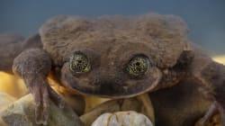 La grenouille la plus seule du monde a trouvé une