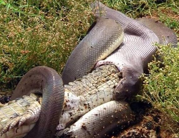 Photos show moment python swallows crocodile