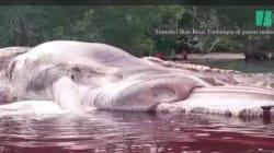Indonesia: ritrovata gigantesca creatura marina
