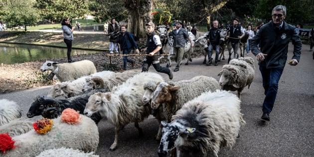 Des moutons dans le parc des Buttes-Chaumont à Paris le 22 février 2019 dans le cadre d'une collecte de bétail à la veille de l'ouverture du Salon de l'Agriculture.