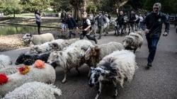 Des bovins et moutons ont transhumé aux Buttes-Chaumont à