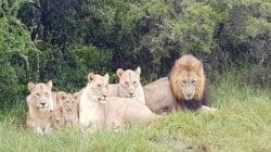 Gang di bracconieri sbranata da branco di leoni in