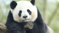 Le zoo de Beauval va accueillir un bébé panda, une première en
