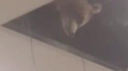Ce raton laveur s'est cru dans le film