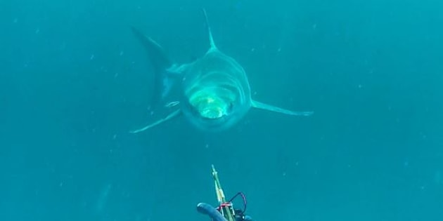A great white shark comes out of the depths near off Cape Moreton.