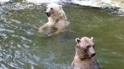 Escaped Female Polar-Brown Bear Shot Dead At German