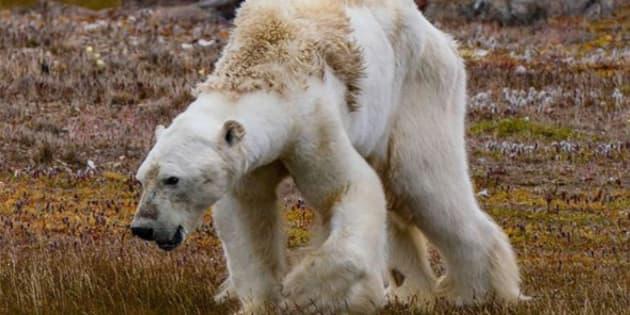 Imagen del oso hambriento tomada por Paul Nicklen en el Ártico canadiense.
