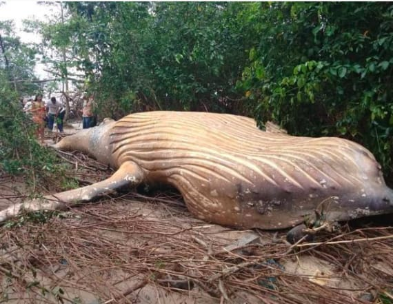 Humpback whale found dead in rainforest
