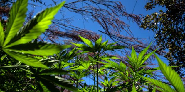 Plantación de marihuana cerca del río de Santo Tomás, al sur de Ensenada, Baja California.