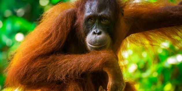 Una orangután en su habitat natural. Los investigadores creen que este comportamiento es el primer ejemplo conocido de un animal no humano que utiliza por sí mismo un analgésico tópico.