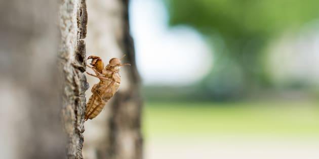Cicada molt on nature background