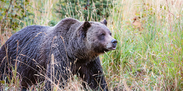 Matteo Colombo via Getty Images A grizzly bear