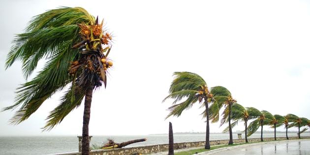 Palmeras en Caibarién (Cuba) tras el paso de Irma el 9 de septiembre de 2017.