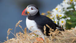 It Turns Out Puffins Have Fluorescent Beaks That Glow Under UV