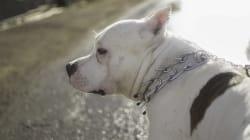 Les pitbulls permis à Montréal, malgré la loi