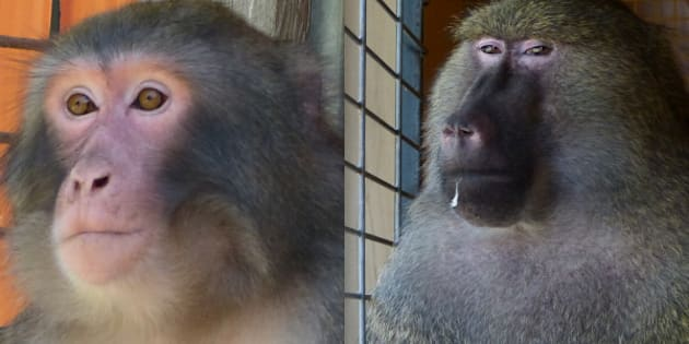 "Darwin the ""Ikea monkey,"" left, is a Japanese macaque, while Pierre, right, is an olive baboon."