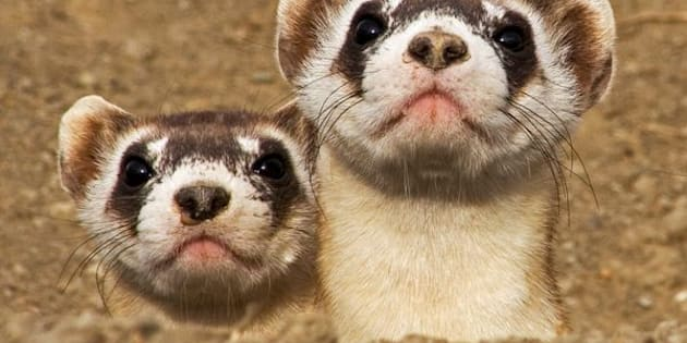 Once thought to be extinct, a remnant population of the endangered black-footed ferret was discovered, which started a reintroduction program to re-establish a population on the wild prairie.