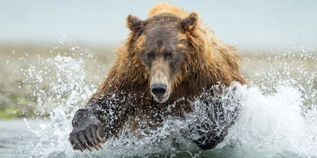 USA, Alaska, Katmai National Park, Coastal Brown Bear (Ursus arctos) leaping after salmon in spawning stream