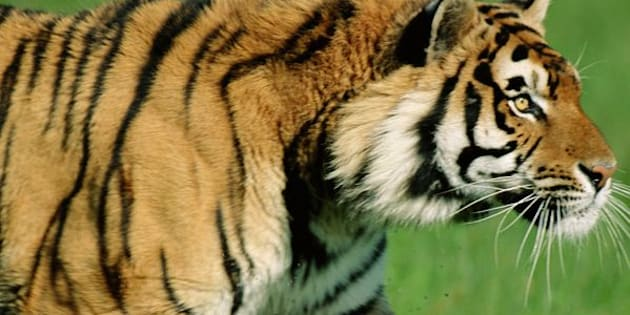A tiger, not pictured, reportedly attacked and killed a zookeeper at the Terra Natura animal park in Benidorm, Spain, on Saturday afternoon.