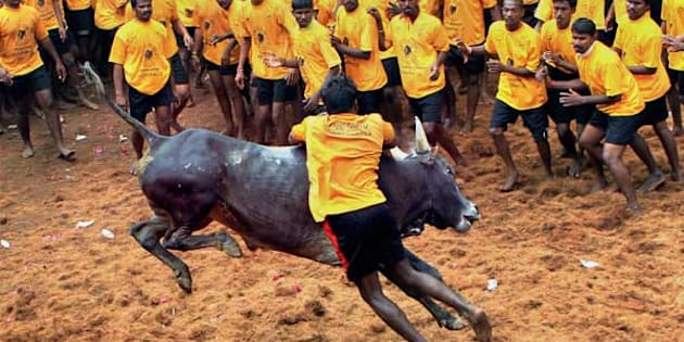 "Competitors try to tame a bull during ""Jallikattu"" organised as a part of Pongal"