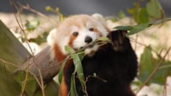 Red Panda On The Loose From Zoo, Maybe Driven Out By Pushy