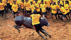 Is The BJP Planning To Give Tamil Nadu A Jallikattu Gift This