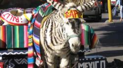 El burro-cebra de Tijuana en medio de una controversia por derechos