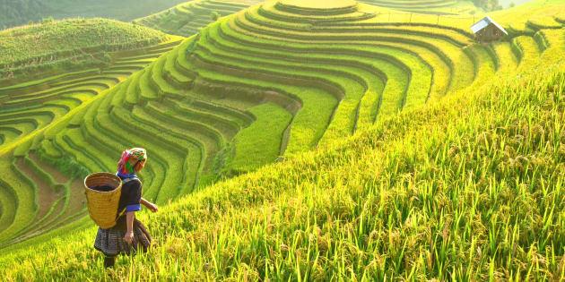 Le réchauffement climatique réduit la qualité du riz (et c'est désastreux pour des millions de personnes) (Photo: rizières au Vietnam)