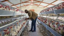 A produção de ovos no Brasil é cruel: Clausura, cadáveres e
