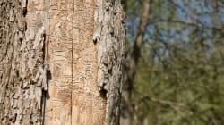 6500 arbres à abattre dans un site classé