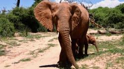 Une éléphante au nom de Sophie Grégoire