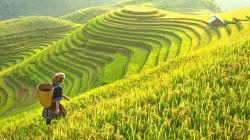 Le réchauffement climatique réduit la qualité du riz (et c'est désastreux pour des millions de