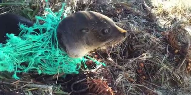 The seal pup was stuck in a knotted net.