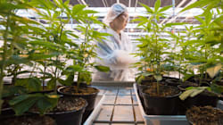 Le cannabis, futur «or