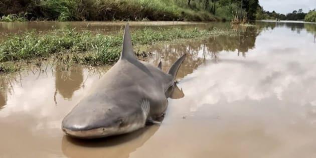 Un requin-bouledogue resté dans une rue de la ville de Burdekin après le passage du cyclone Debbie le 29 mars 2017.