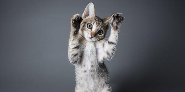 allergie aux poils de chat deux soci t s en comp tition pour cr er des matous ogm. Black Bedroom Furniture Sets. Home Design Ideas