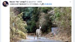 「大阪地震でシマウマ脱走」のデマが拡散。警察が注意呼びかけ