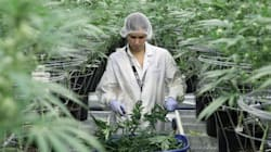 U.S. Cannabis Producers Fear Canada Will 'Dominate The
