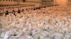 La nouvelle vidéo choc de L214, infiltré dans un élevage de