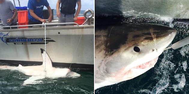 Sharks were caught and then released further out to sea.