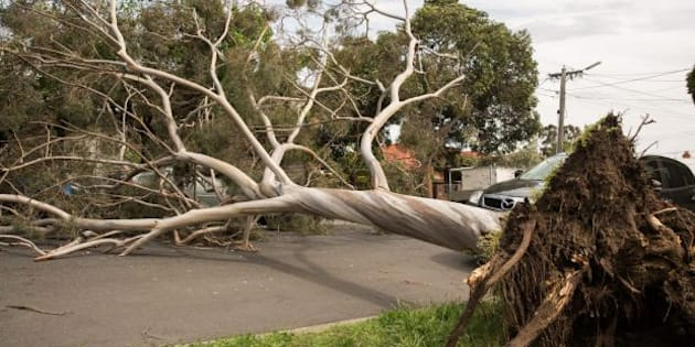 A large tree has blown over blocking Rossmoyne Street in Thornbury, Melbourne. Most of the emergency callouts have been related to fallen trees, blown over in winds of up to 120 kilometres per hour.